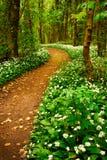 Floresta da mola com as flores selvagens brancas Foto de Stock Royalty Free