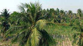 Floresta da palma com cocos e campo verde no dia ensolarado filme