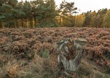 Floresta da perseguição de Cannock Foto de Stock