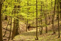 Floresta da primavera Imagens de Stock