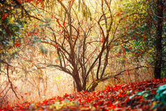 A floresta da queda do outono, cores surreais da fantasia ajardina com árvores Imagem de Stock