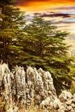 Floresta da árvore de cedro Fotos de Stock Royalty Free
