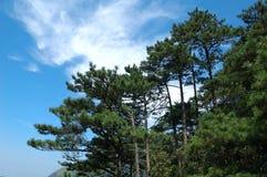 Floresta da árvore de pinho Foto de Stock