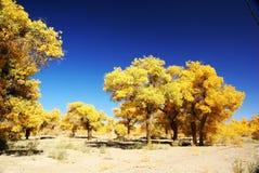 Floresta da árvore do euphratica do Populus Imagens de Stock