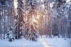 A floresta da árvore do pinho e de abeto na manhã bonita ilumina-se Foto de Stock Royalty Free