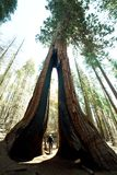 Floresta da sequoia foto de stock royalty free