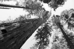 Floresta da sequoia vermelha imagens de stock