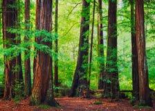 Floresta da sequoia vermelha fotografia de stock royalty free