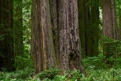 Floresta da sequoia vermelha de Califórnia foto de stock royalty free