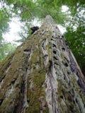 Floresta da sequoia vermelha de Califórnia Imagem de Stock Royalty Free