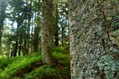 Floresta das árvores de pinho Imagem de Stock Royalty Free