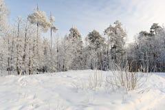 Floresta das coníferas do inverno com muita neve Foto de Stock