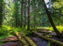 Floresta das montanhas olímpicas foto de stock