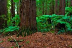 Floresta das sequoias vermelhas em Rotorua fotografia de stock royalty free