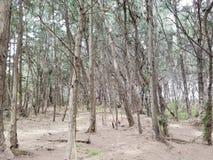 Floresta de árvores de pau-ferro preto com trajeto da sujeira Fotos de Stock