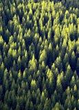 Floresta de árvores de pinho Imagem de Stock Royalty Free