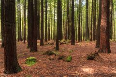 Floresta de árvores novas da sequoia vermelha Troncos e assoalho da floresta imagem de stock
