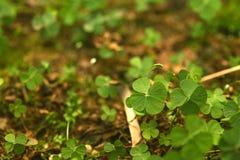 Floresta de 4 Folha-trevos Fotos de Stock Royalty Free