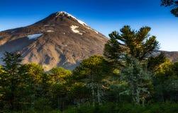Floresta de Araucarias no vulcão Lanin da base o fotos de stock