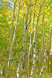 Floresta de Aspen Imagem de Stock