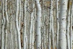 Floresta de Aspen imagem de stock royalty free