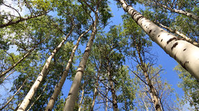 Floresta de Aspen foto de stock royalty free