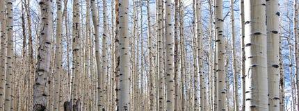 Floresta de Aspen com troncos desencapados e o céu azul Fotografia de Stock