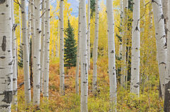 Floresta de Aspen do outono fotografia de stock royalty free