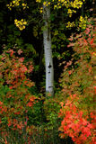 Floresta de Autumn Fall Trees Birch Maple Imagem de Stock Royalty Free