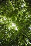 Floresta de bambu. Fotografia de Stock