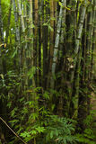 Floresta de bambu densa fotografia de stock royalty free