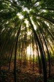Floresta de bambu em Damyang Imagem de Stock