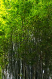 Floresta de bambu, Florida Fotos de Stock Royalty Free