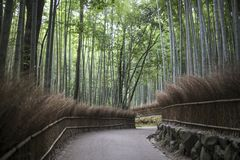 Floresta de bambu japonesa Imagens de Stock