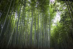Floresta de bambu japonesa Imagem de Stock Royalty Free