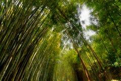 Floresta de bambu luxúria Imagem de Stock