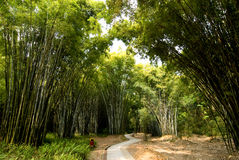 Floresta de bambu luxúria Fotos de Stock