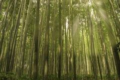 Floresta de bambu na manhã fotografia de stock royalty free