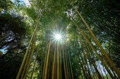 Floresta de bambu no crepúsculo foto de stock royalty free