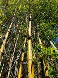 Floresta de bambu que olha 4k ascendente Foto de Stock Royalty Free