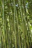 Floresta de bambu verde Imagem de Stock