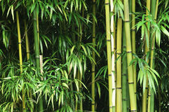 Floresta de bambu verde Fotos de Stock Royalty Free