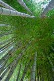 Floresta de bambu verde grossa Fotografia de Stock