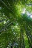 Floresta de bambu verde grossa Imagem de Stock