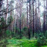 Floresta de Belowieza foto de stock royalty free