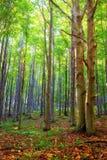 Floresta de Bukk em Hungria imediatamente antes do outono Imagem de Stock Royalty Free