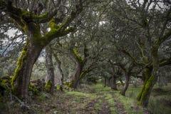 Floresta de carvalhos Mossy. Foto de Stock Royalty Free
