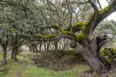 Floresta de carvalhos Mossy. Imagem de Stock Royalty Free
