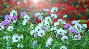 Floresta de cintilação da flor das estrelas no nascer do sol Fotos de Stock Royalty Free