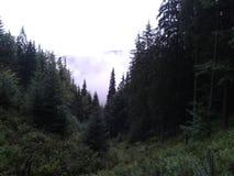 Floresta de Coniferus em Romênia Foto de Stock